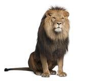 Leão, Panthera leo, 8 anos velho, sentando-se Fotos de Stock Royalty Free