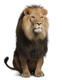 Leão, Panthera leo, 8 anos velho, sentando-se Fotos de Stock