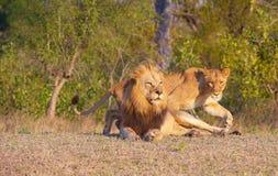 Leão (panthera leo) e leoa Fotografia de Stock Royalty Free