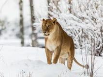 Leão, Panthera leo, lionesse que está na neve, olhando à esquerda Imagem horizontal, árvores nevado no fundo imagens de stock royalty free