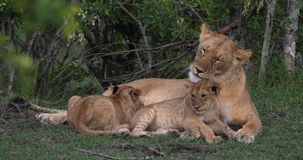 Leão, panthera leo, mãe e Cub africanos, jogando e mamando, Masai Mara Park em Kenya, R video estoque