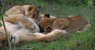 Leão, panthera leo, mãe e Cub africanos mamando, Masai Mara Park em Kenya, filme
