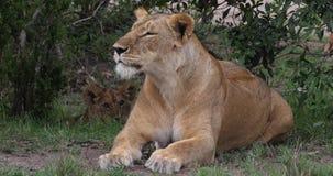 Leão, panthera leo, mãe e Cub africanos, Masai Mara Park em Kenya, vídeos de arquivo