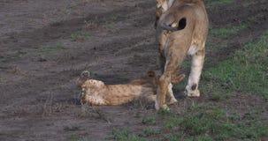 Leão, panthera leo, mãe e Cub africanos que joga, Masai Mara Park em Kenya, filme