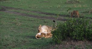 Leão, panthera leo, mãe e Cub africanos que joga, Masai Mara Park em Kenya, video estoque