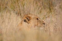Leão, Panthera leo, no parque nacional de Etosha Imagem de Stock