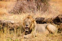 Leão, parque nacional de Tarangire Fotos de Stock