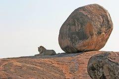 Leão & pedregulho grande fotos de stock