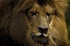 Leão pensativo Fotografia de Stock