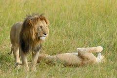 Leão próximo no parque nacional de Kenya Imagens de Stock Royalty Free