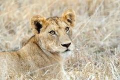 Leão próximo no parque nacional de Kenya Fotografia de Stock Royalty Free