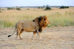 Leão próximo no parque nacional de Kenya Imagem de Stock Royalty Free