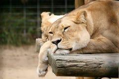 Leão preguiçoso Imagem de Stock Royalty Free