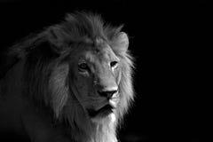 Leão preto e branco que relaxa Foto de Stock
