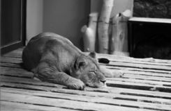 Leão prisioneiro fotografia de stock