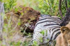 Leão que alimenta na zebra em África do Sul Imagens de Stock