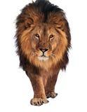 Leão que anda e que olha a câmera isolada no branco fotografia de stock royalty free