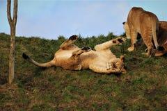 Leão que atacking uma árvore nova imagens de stock royalty free