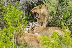 Leão que boceja na matança África do Sul Imagem de Stock Royalty Free