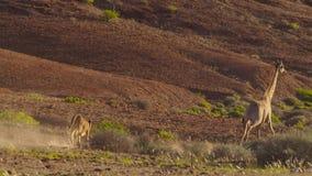 Leão que caça um girafa na reserva dos animais selvagens de Etosha em Namíbia fotografia de stock