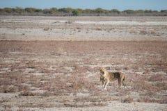 Leão que chama seu orgulho, parque nacional de Etosha, Namíbia Foto de Stock