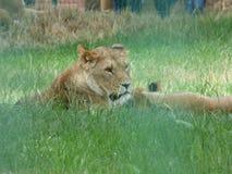 Leão que coloca na espera foto de stock