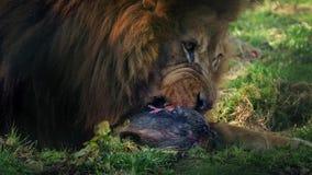 Leão que come o close up do animal inoperante video estoque