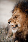 Leão que descobre seus dentes Imagens de Stock
