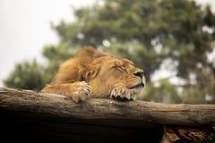 Leão que dorme em um log fotografia de stock