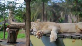 Leão que dorme na caixa de madeira e nas trações os pés video estoque