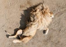 Leão que dorme na parte traseira com as patas no ar Fotografia de Stock Royalty Free
