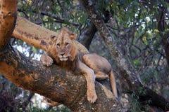 Leão que encontra-se em uma árvore e que caça abaixo de uma vítima Fotografia de Stock Royalty Free