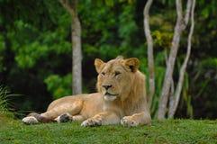 Leão que encontra-se para baixo com a selva no fundo imagem de stock