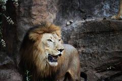 Leão que está em uma rocha imagens de stock