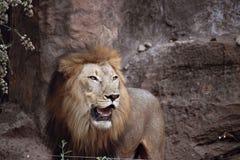 Leão que está em uma rocha foto de stock royalty free