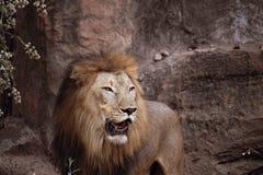 Leão que está em uma rocha imagem de stock royalty free