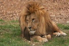 Leão que lounging Imagens de Stock