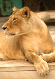 Leão que olha atrás imagem de stock