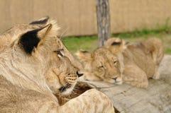 Leão que olha o leão do sono Imagem de Stock