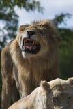 Leão que protege seu território fotos de stock royalty free