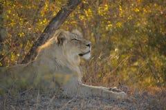 Leão que relaxa no arbusto africano Fotos de Stock