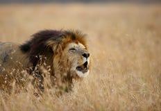 Leão que ruje imagem de stock