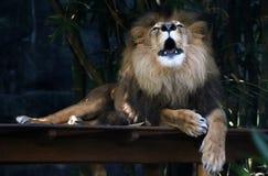 Leão que ruje Foto de Stock Royalty Free