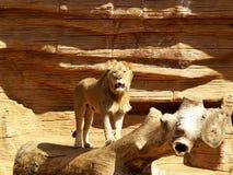 Leão que ruje Fotografia de Stock