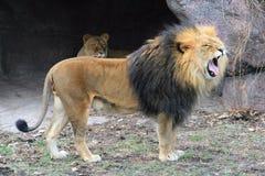 Leão que ruje Imagens de Stock
