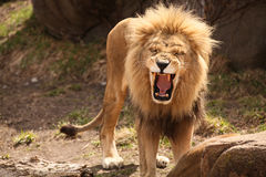 Leão que ruje ou que ri Fotos de Stock Royalty Free