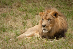 Leão que senta-se na grama Foto de Stock