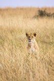 Leão que senta-se na grama alta Imagens de Stock