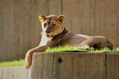 Leão que toma sol no sol da manhã fotos de stock