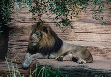 Leão que toma uma ruptura em uma tarde morna imagens de stock royalty free